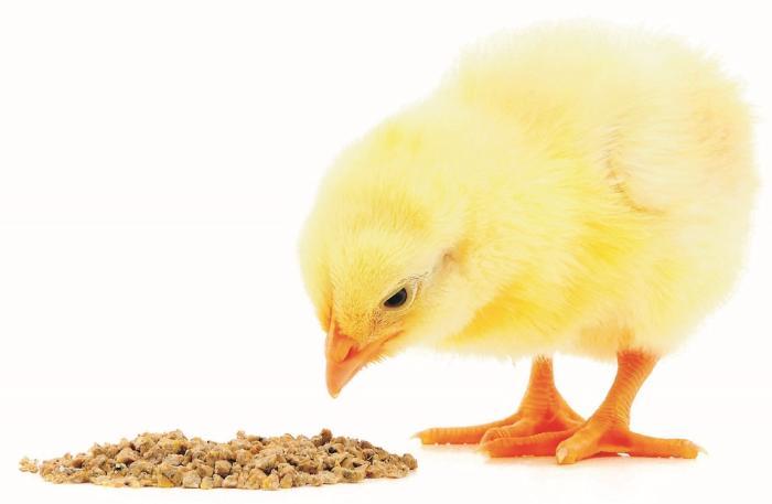 Nutrición de los pollos durante la primera y la última semana.